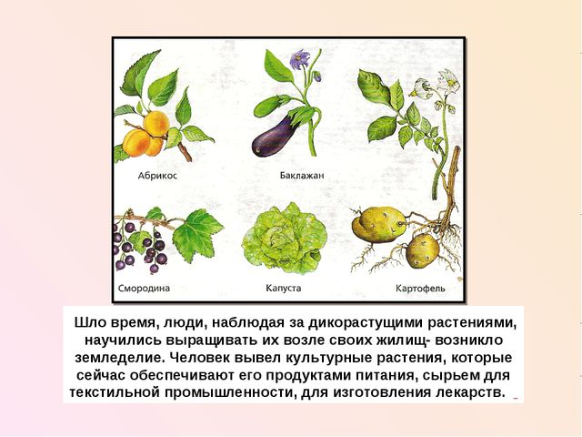 Шло время, люди, наблюдая за дикорастущими растениями, научились выращивать...