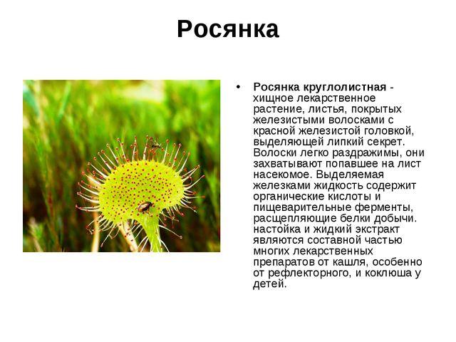 Росянка Росянка круглолистная - хищное лекарственное растение, листья, покрыт...