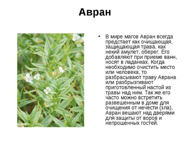 Авран В мире магов Авран всегда предстает как очищающая, защищающая трава, ка...