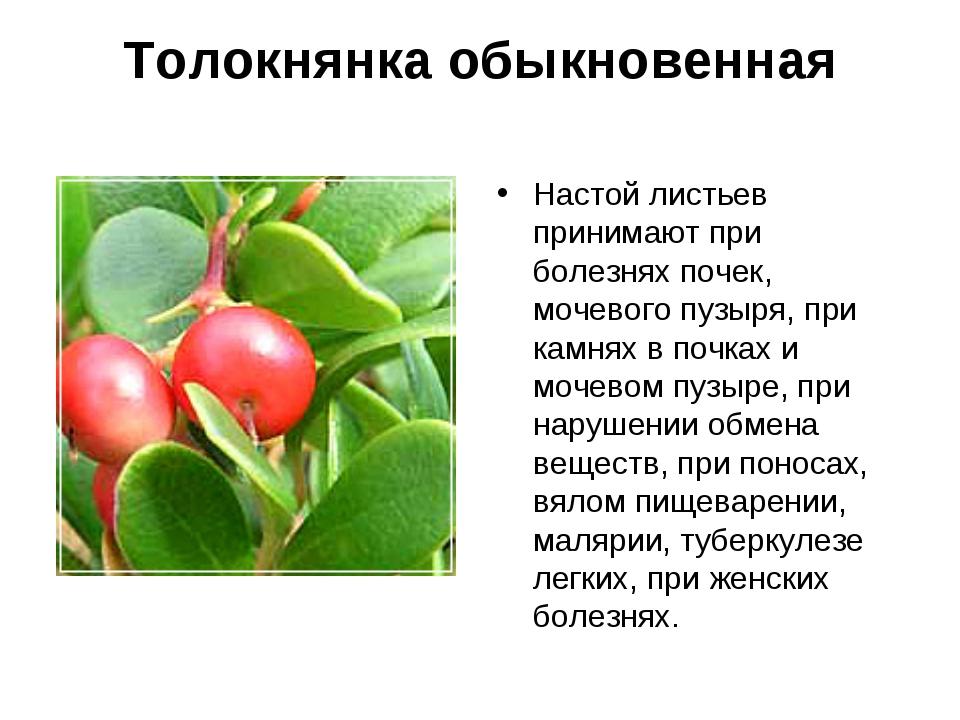 Толокнянка обыкновенная Настой листьев принимают при болезнях почек, мочевого...