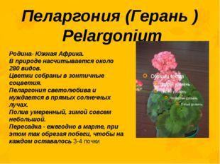 Пеларгония (Герань ) Pelargonium Родина- Южная Африка. В природе насчитываетс