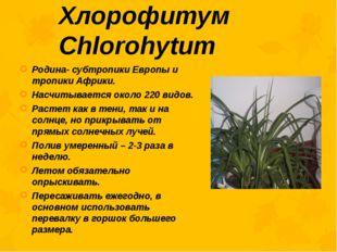 Хлорофитум Chlorohytum Родина- субтропики Европы и тропики Африки. Насчитывае