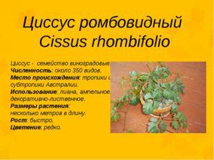 Циссус ромбовидный Cissus rhombifolio Циссус - семейство виноградовые. Числен