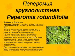 Пеперомия круглолистная Peperomia rotundifolia Родина – Бразилия Температура: