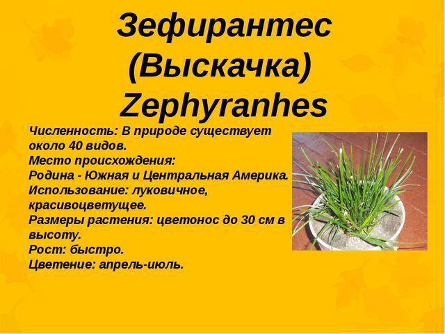 Зефирантес (Выскачка) Zephyranhes Численность: В природе существует около 40...