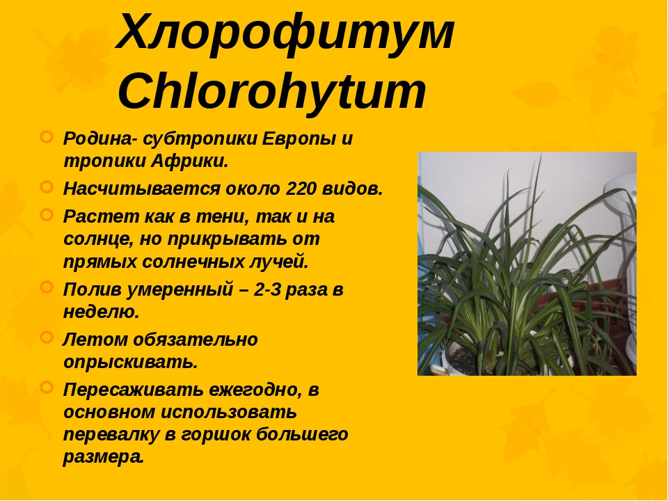 Хлорофитум Chlorohytum Родина- субтропики Европы и тропики Африки. Насчитывае...
