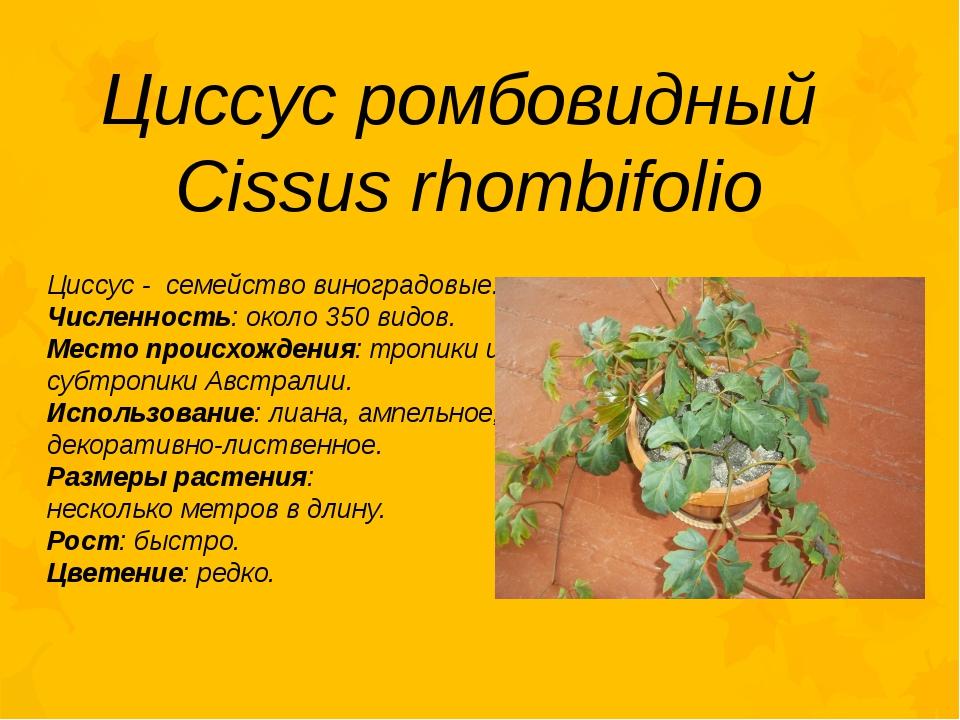 Циссус ромбовидный Cissus rhombifolio Циссус - семейство виноградовые. Числен...