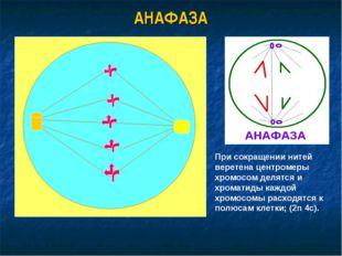 АНАФАЗА При сокращении нитей веретена центромеры хромосом делятся и хроматиды