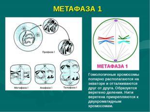 МЕТАФАЗА 1 Гомологичные хромосомы попарно располагаются на экваторе и отталки