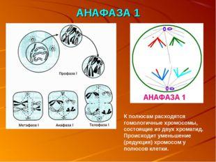 АНАФАЗА 1 К полюсам расходятся гомологичные хромосомы, состоящие из двух хром