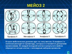 МЕЙОЗ 2 Второе мейотическое деление идет по типу митоза. В анафазе 2 к полюса