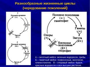 Разнообразные жизненные циклы (чередование поколений) А – зиготный мейоз: зел