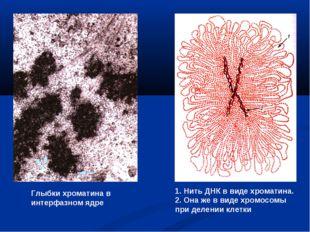 Глыбки хроматина в интерфазном ядре 1. Нить ДНК в виде хроматина. 2. Она же в