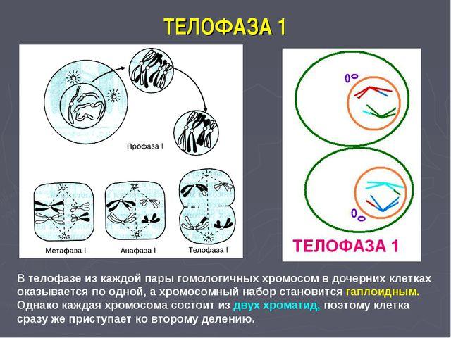 ТЕЛОФАЗА 1 В телофазе из каждой пары гомологичных хромосом в дочерних клетках...
