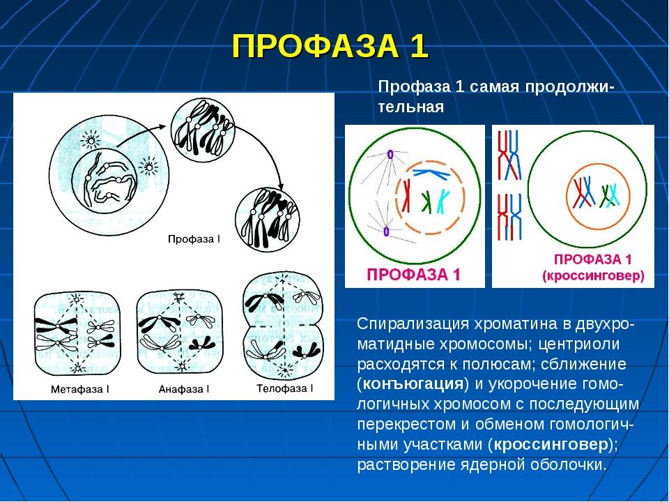 ПРОФАЗА 1 Профаза 1 самая продолжи-тельная Спирализация хроматина в двухро-ма...