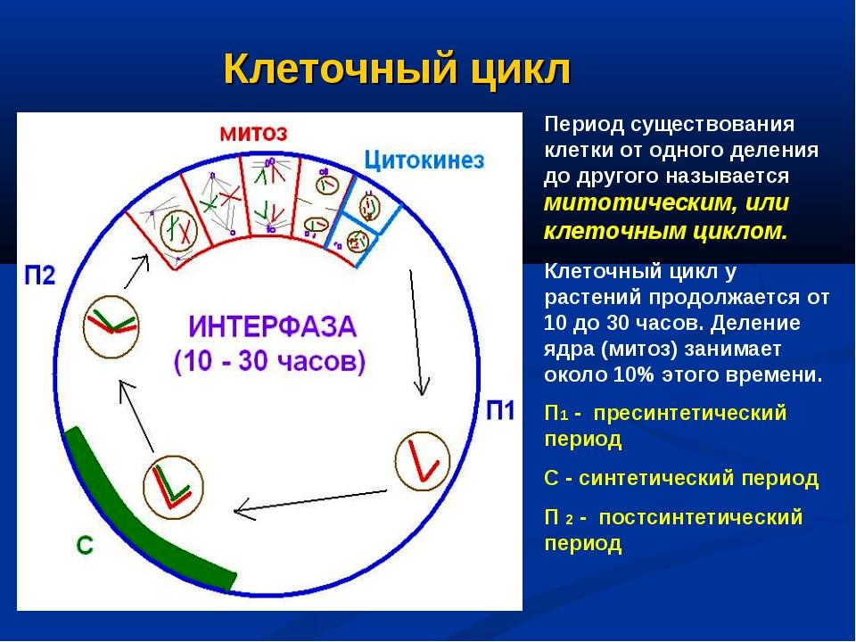 Клеточный цикл Период существования клетки от одного деления до другого назыв...