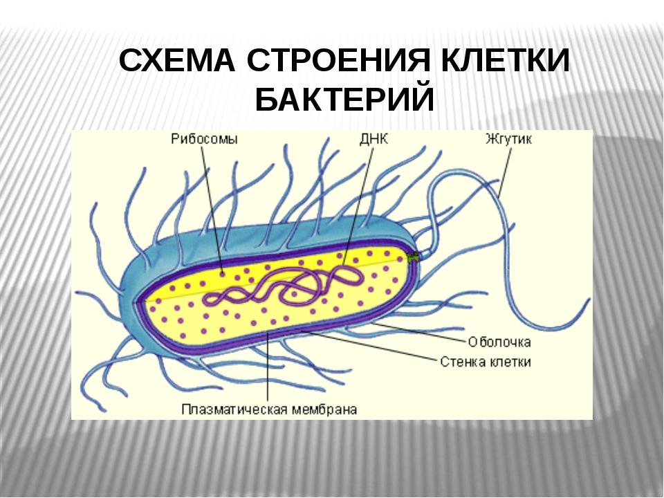 СХЕМА СТРОЕНИЯ КЛЕТКИ БАКТЕРИЙ