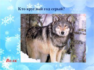 Кто круглый год серый? Волк