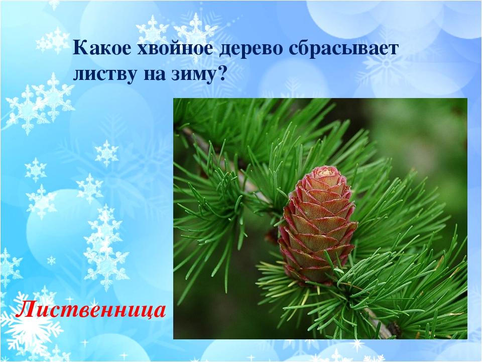 Какое хвойное дерево сбрасывает листву на зиму? Лиственница