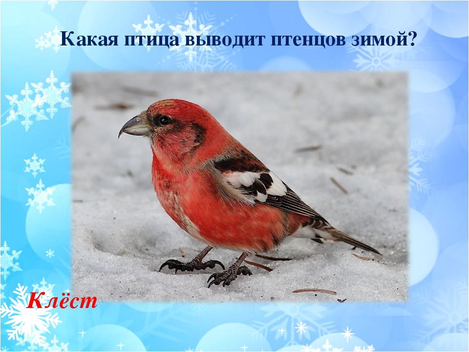Какая птица выводит птенцов зимой? Клёст