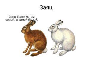 Заяц Заяц-беляк летом серый, а зимой белый.