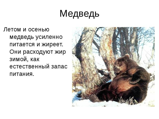 Медведь Летом и осенью медведь усиленно питается и жиреет. Они расходуют жир...