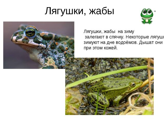 Лягушки, жабы Лягушки, жабы на зиму залегают в спячку. Некоторые лягушки зиму...