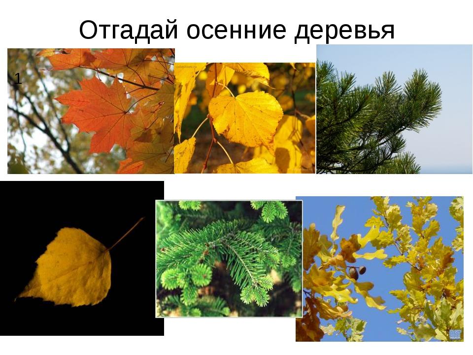 Отгадай осенние деревья 1 2
