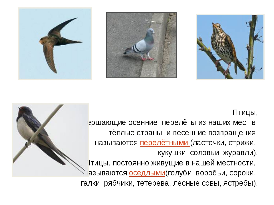 Птицы, совершающие осенние перелёты из наших мест в тёплые страны и весенни...