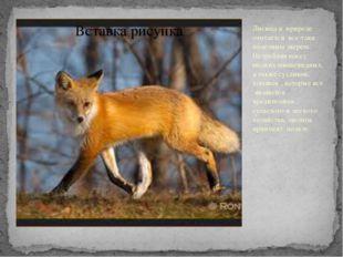Лисица в природе считается все-таки полезным зверем. Истребляя массу мелких