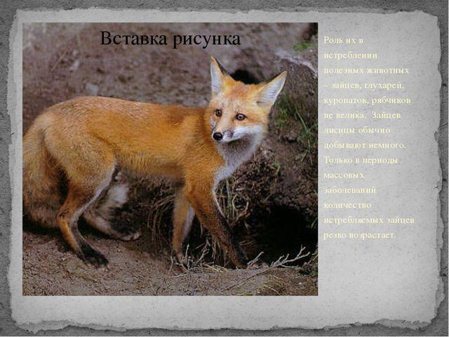 Роль их в истреблении полезных животных – зайцев, глухарей, куропаток, рябчик...