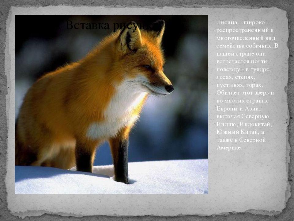 . Лисица – широко распространенный и многочисленный вид семейства собачьих. В...