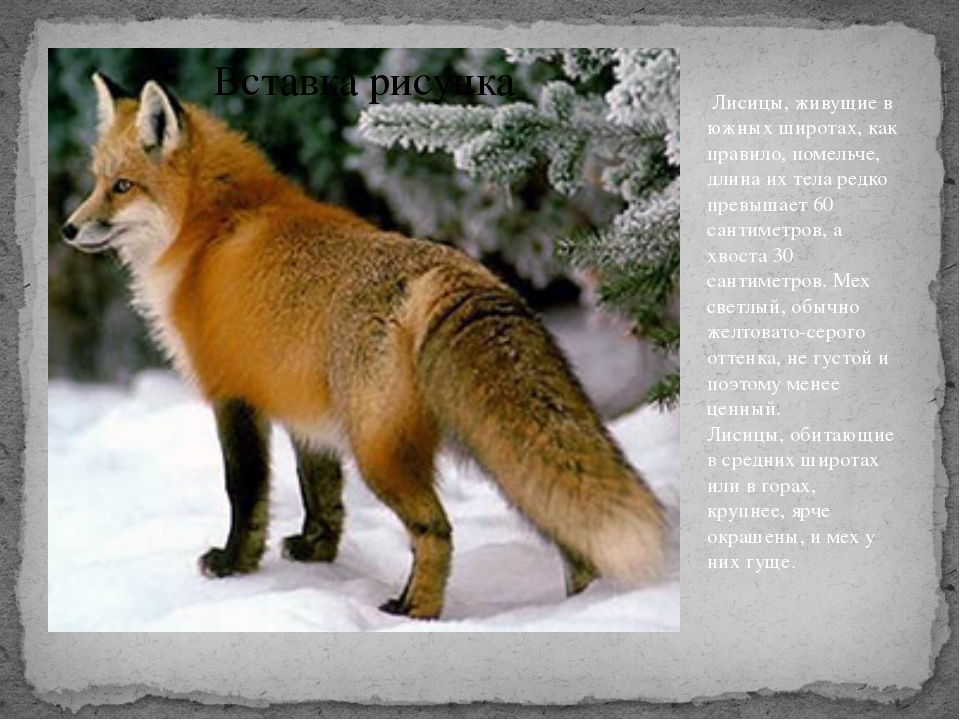 Лисицы, живущие в южных широтах, как правило, помельче, длина их тела редко...
