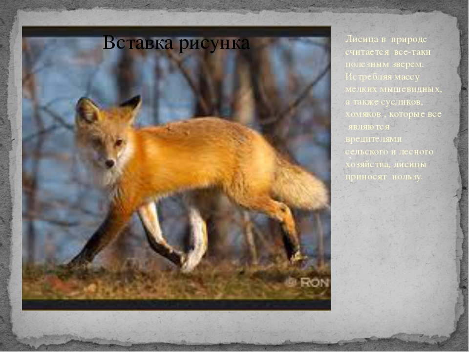 Лисица в природе считается все-таки полезным зверем. Истребляя массу мелких...