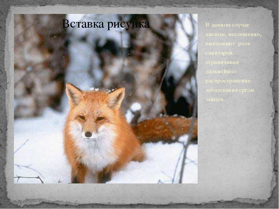 В данном случае лисицы, несомненно, выполняют роль санитаров, ограничивая дал...
