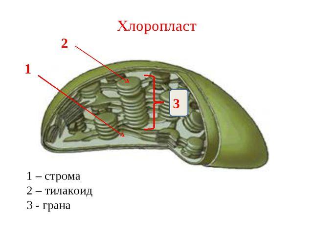 Хлоропласт 1 2 3 1 – строма 2 – тилакоид 3 - грана
