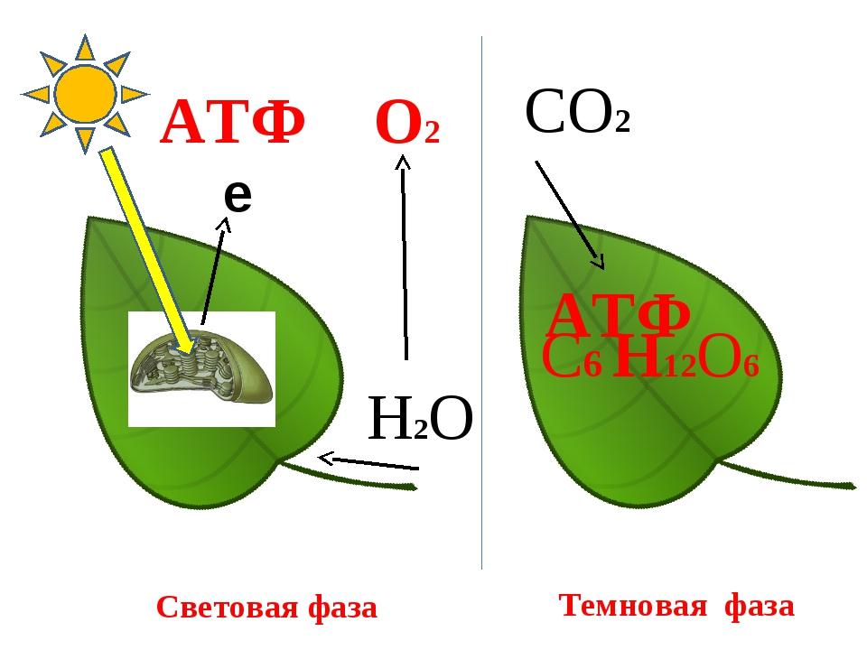 е Н2О О2 АТФ Световая фаза СО2 АТФ С6 Н12О6 Темновая фаза