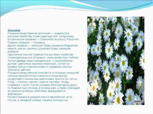 Описание Ромашка лекарственная (аптечная) — травянистое растение семейства Сл