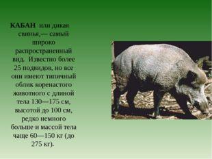 КАБАН или дикая свинья,— самый широко распространенный вид. Известно более 25