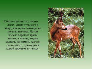 Обитает во многих наших лесах. Днём отдыхает в чаще, а вечером выходит на пол