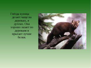 Гнёзда куница делает чаще на деревьях, в дуплах. Она хорошо лазает по деревь