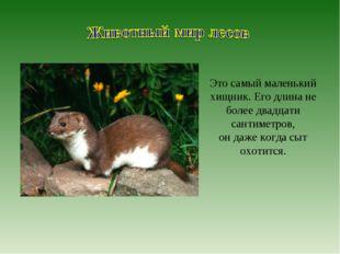 Это самый маленький хищник. Его длина не более двадцати сантиметров, он даже