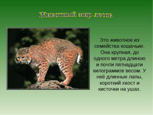 Это животное из семейства кошачьих. Она крупная, до одного метра длиною и поч