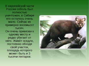 В европейской части России соболь был полностью уничтожен, в Сибири его остал