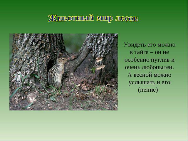 Увидеть его можно в тайге – он не особенно пуглив и очень любопытен. А весной...
