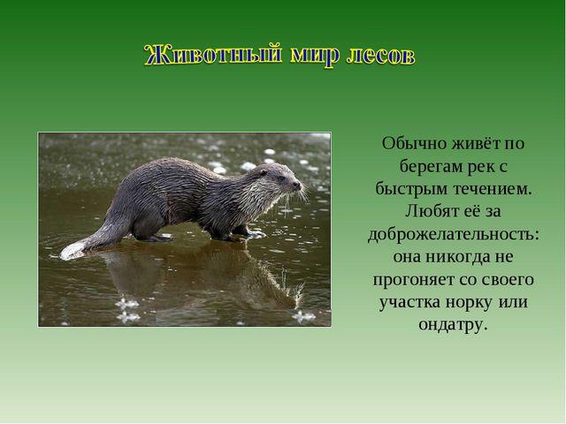 Обычно живёт по берегам рек с быстрым течением. Любят её за доброжелательност...