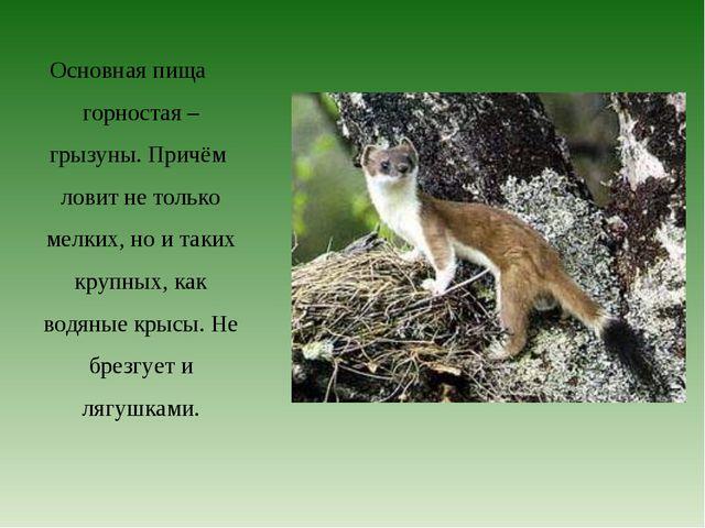 Основная пища горностая – грызуны. Причём ловит не только мелких, но и таких...