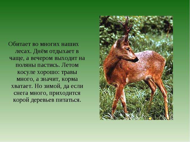 Обитает во многих наших лесах. Днём отдыхает в чаще, а вечером выходит на пол...