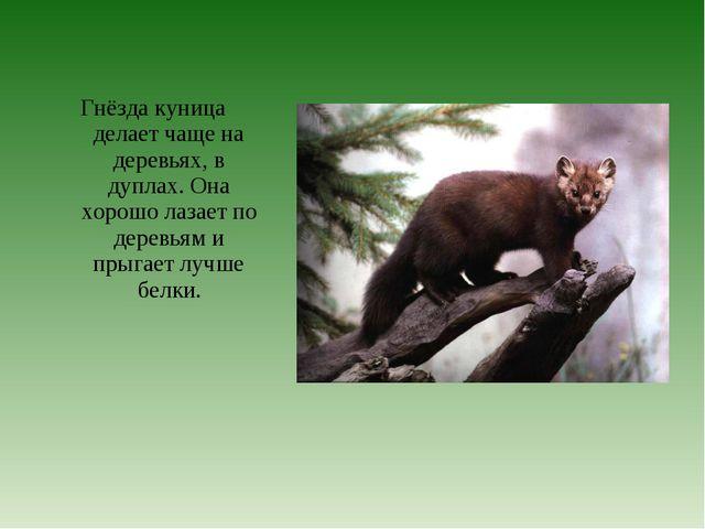 Гнёзда куница делает чаще на деревьях, в дуплах. Она хорошо лазает по деревь...