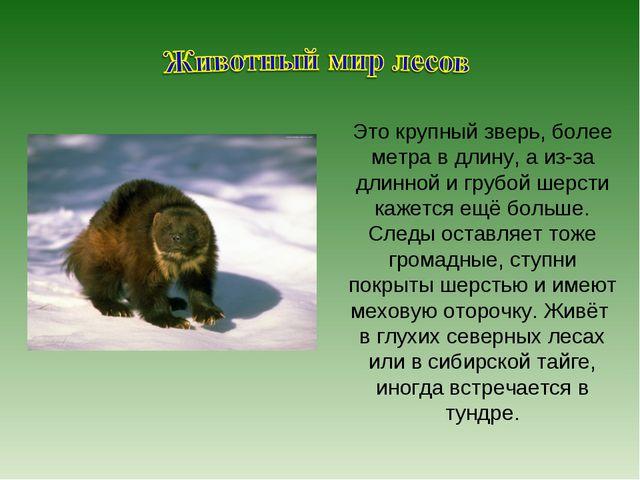 Это крупный зверь, более метра в длину, а из-за длинной и грубой шерсти кажет...